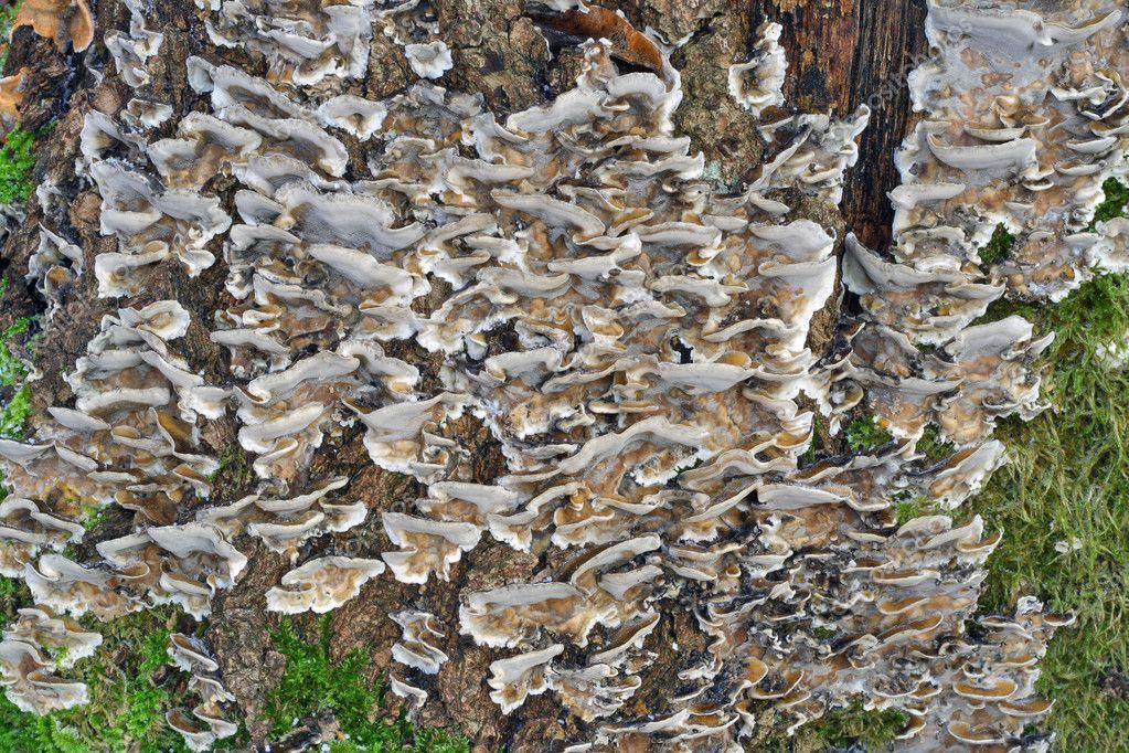 champignons sur le fond d 39 arbre pourri photographie vilaxlt 2657088. Black Bedroom Furniture Sets. Home Design Ideas