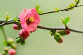 Fotografia fiori di ciliegio giapponese