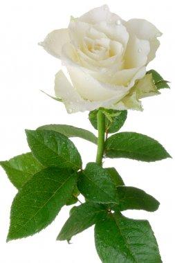 """Картина, постер, плакат, фотообои """"Белая роза"""", артикул 2619630"""