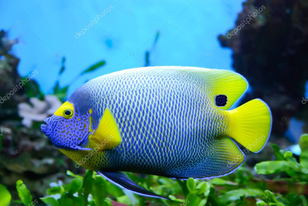 Angelfish (Pomacanthus xanthometapon)