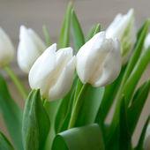 Fotografie bílé tulipány
