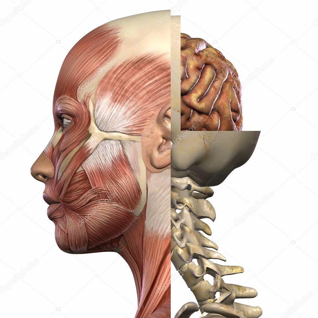 weibliche Anatomie Körper — Stockfoto © Digitalstudio #2650851
