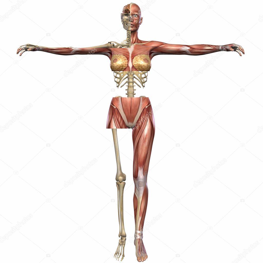 Female Anatomy Body — Stock Photo © Digitalstudio #2650901