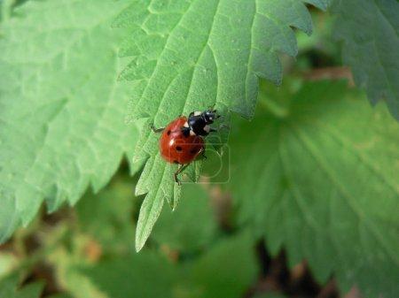 Ladybird on the green leaf