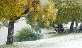 Willows in autumn