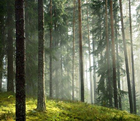 Photo pour Forêt de pins d'été tôt le matin - image libre de droit
