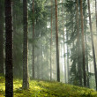 Summer pine forest in the early morning