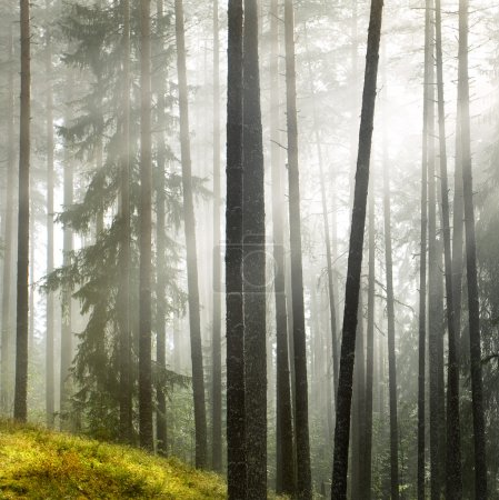 Photo for Summer pine forest after rain,focal center on the front tree - Royalty Free Image