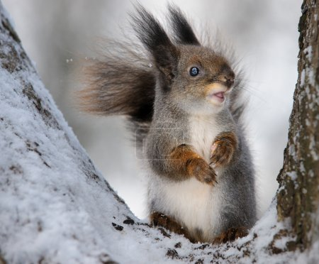 Photo for The squirrel in the winter in a tree fork. - Royalty Free Image