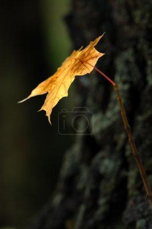 Photo pour Feuilles d'érable jaune d'automne sur les arbres du parc . - image libre de droit
