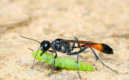Wasp Ammophila sabulosa with prey