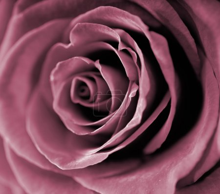 Photo for Red rose closeup photo. - Royalty Free Image
