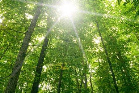 Photo pour Lumière du soleil dans les arbres des forêts vert été - image libre de droit
