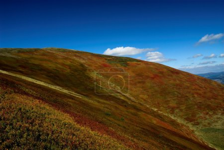 Photo for Bushes of blueberry high in Transcarpathian mountains. - Royalty Free Image