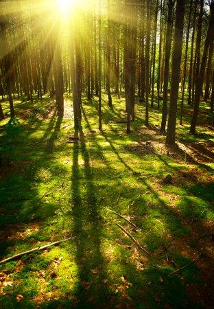 Photo pour Forêt du lever du soleil - image libre de droit