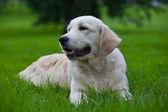 Golden retriever puppy on green grass