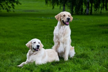 Two golden retriever on green grass