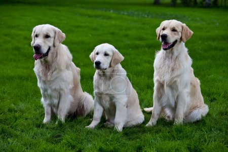 Three golden retriever on green grass