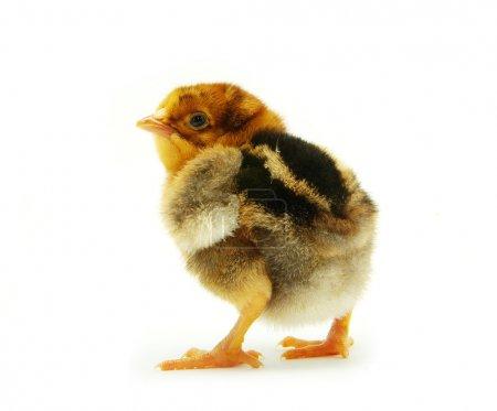 Photo pour Mignon petit poulet bébé isolé sur fond blanc - image libre de droit