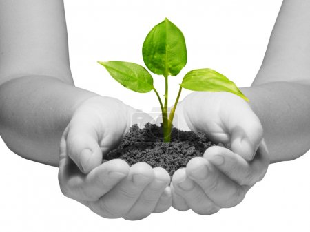 Photo for Hands holding sapling in soil on white - Royalty Free Image