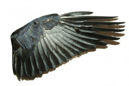 Photo pour Ailes d'oiseaux isolées sur blanc - image libre de droit