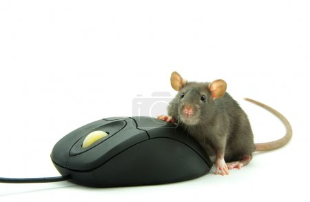 Rat and computer mouse