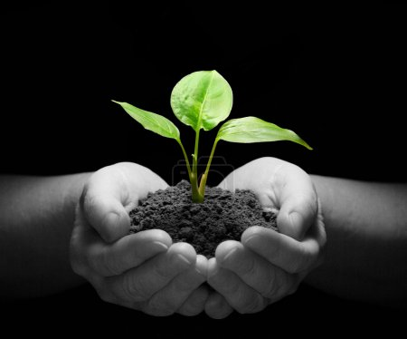 Photo for Hands holding sapling in soil on black - Royalty Free Image