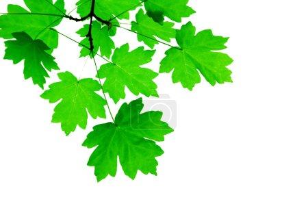 Photo pour Feuilles vertes isolées sur un blanc - image libre de droit