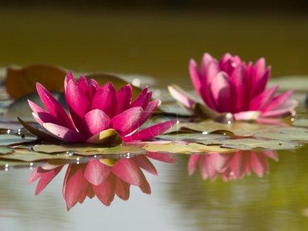 Photo pour Deux fleurs de lotus roses dans l'étang avec réflexion - image libre de droit