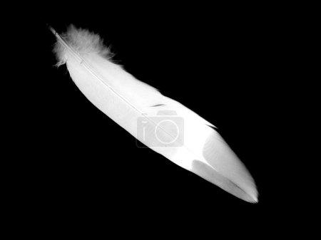 Photo pour Plume isolée sur le fond noir - image libre de droit