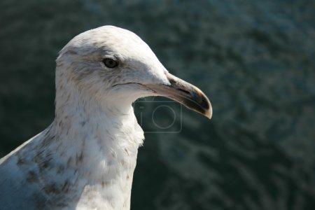 Head Of Sea Gull