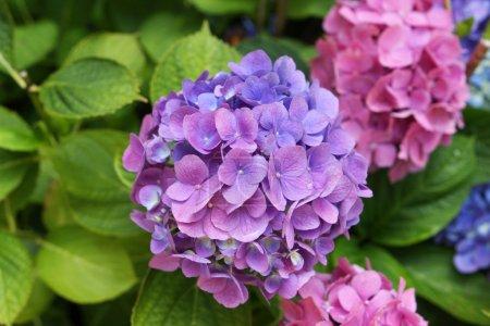 Foto de Hermosas flores de color lila y Rosa Hortensias en flor - Imagen libre de derechos
