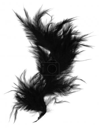 Photo for Black feather isolated on white - Royalty Free Image
