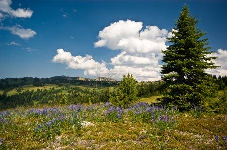 Alpine wildflower meadow vista