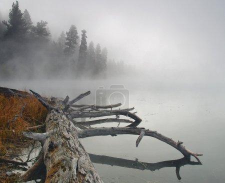 Photo pour Un vieil arbre est situé sur les rives d'un lac matin brumeux - image libre de droit