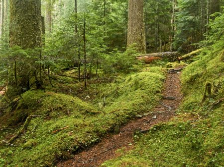 Old growth Forest Path