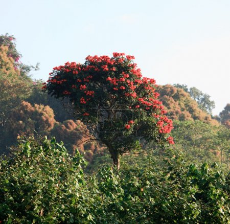 Spectactular Royal Poinciana on the steep bank in ...