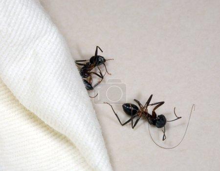 Two dead ants...