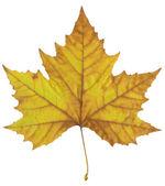 Podzimní javorový list