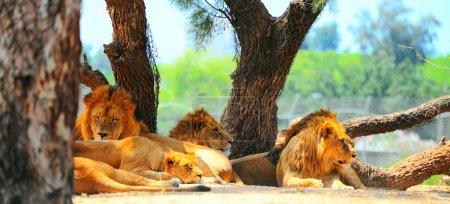 Photo pour Lions la plupart du temps de repos et chassent seulement une fois tous les quelques jours. - image libre de droit