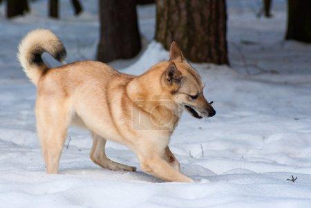 Finnish Spitz-dog