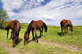 Herde von wilden Steppe Pferde auf Weiden
