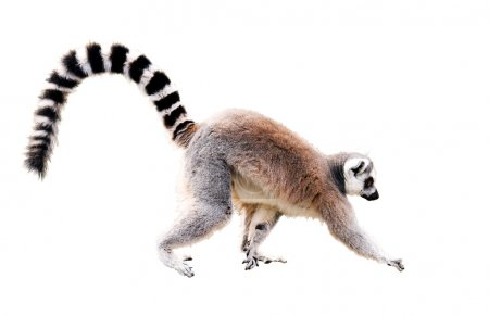 Photo for Walking lemur isolated on white with clipping path - Royalty Free Image