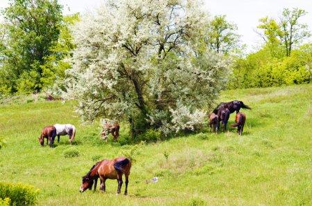 Photo pour Troupeau de chevaux des steppes sauvages sur fond de pâturage - image libre de droit