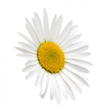 White camomile with clipping path
