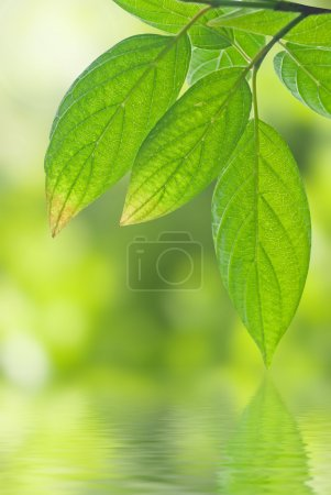 Photo for Green leaves reflecting in the water - Royalty Free Image