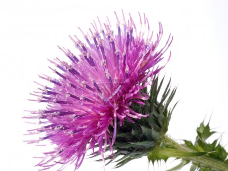 The Cotton Thistle flower