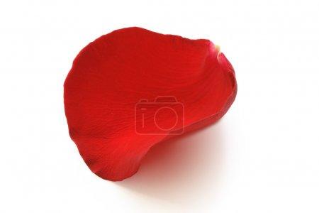 Foto de Pétalo de rosa roja aislado sobre fondo blanco con trazado de recorte - Imagen libre de derechos