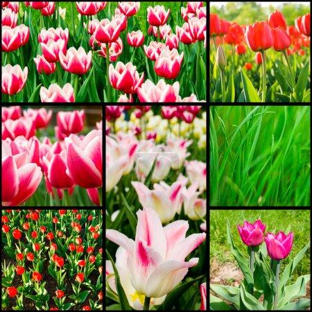 Photo pour Collection jardin tulipes - image libre de droit