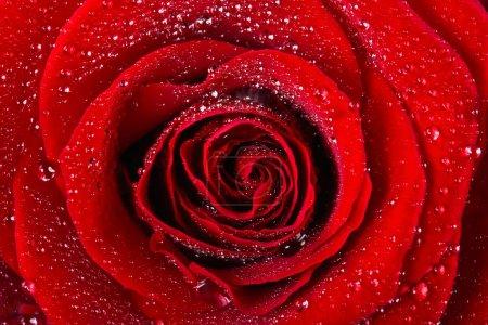 Photo pour Rose écarlate en gouttes d'eau de près en arrière-plan - image libre de droit